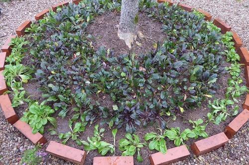 アジュガの植え替え 全体像