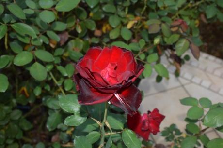 ベルサイユのバラ(京成)