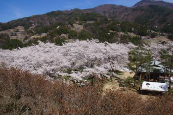 2016.4.大西公園桜1