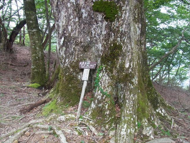 ミズナラの大樹