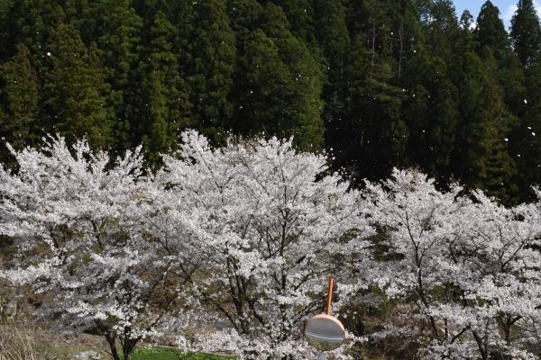 160414-桜吹雪