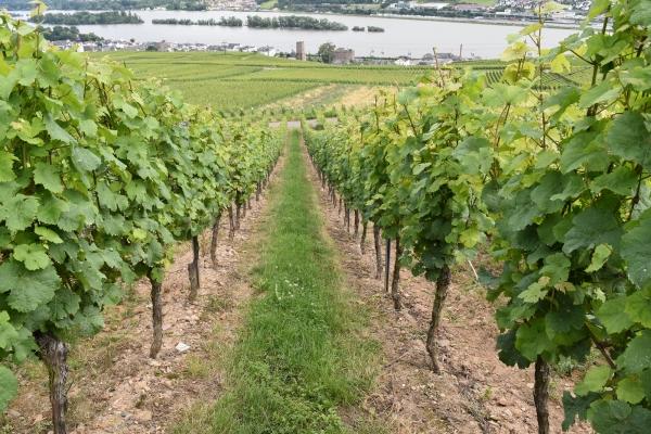 160703-リューデスハイム・アム・ラインの葡萄畑