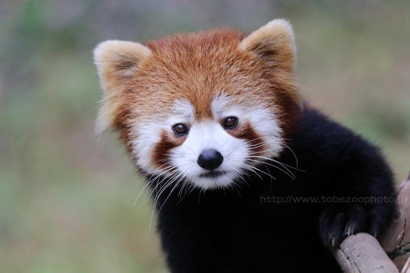 レッサーパンダさんと見つめ合う、かわいい! (撮影:Canon 1DX EXTENDER付)