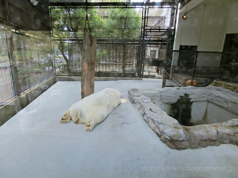 うつ伏せで寝ているシロクマピースさん (撮影:CASIO EX-ZR4000)