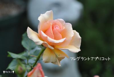 お庭のバラ♪