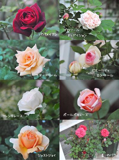 お庭のバラたち。。