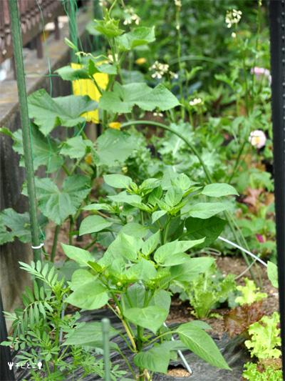チビとこ菜園。。