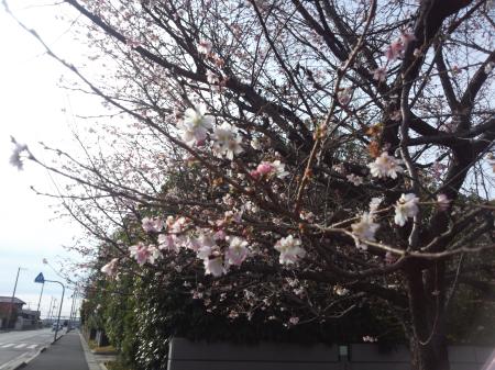 shikisakura.png