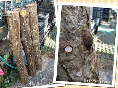 完熟シイタケのほだ木♪