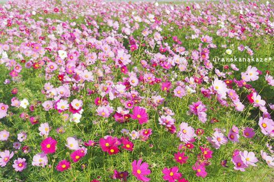 ウチノ海総合公園 コスモス