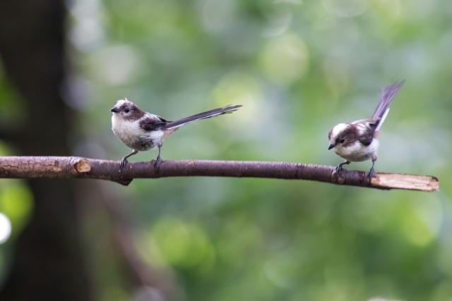 エナガ幼鳥