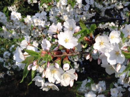 S20160405披露山山桜