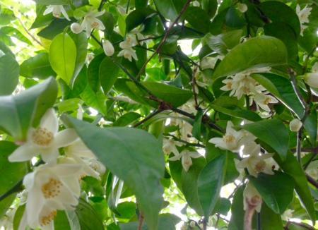S20160505柚子の花満開