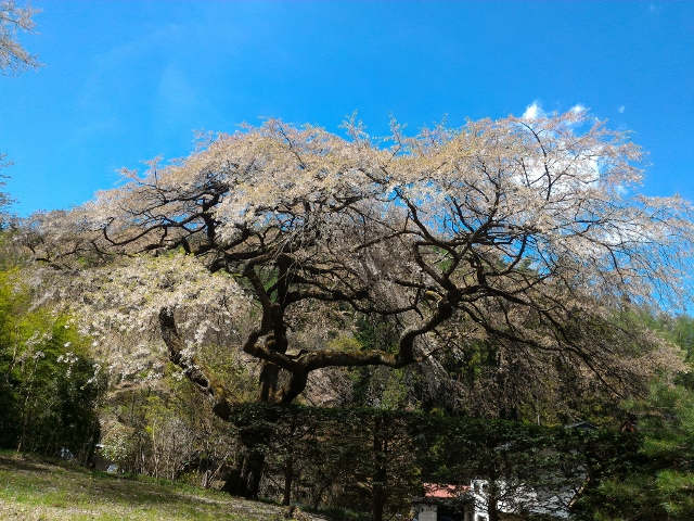 実家の枝垂桜 (約樹齢200年)