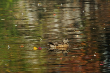 am-wigeon-f-colorfulwater