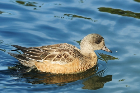 am-wigeon-f-right