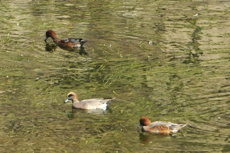 american-wigeon-hybrid