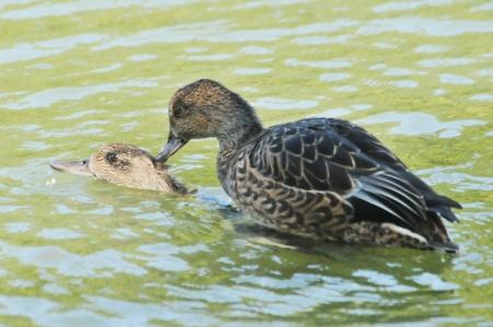 mating-females
