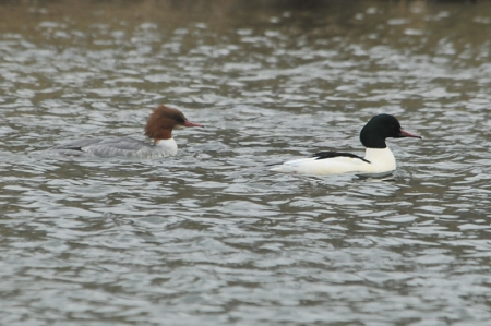 merganser-pair