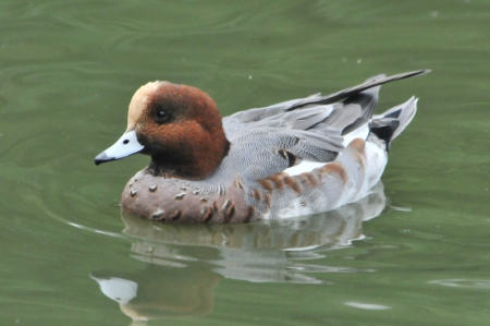 wigeon-m-adt1