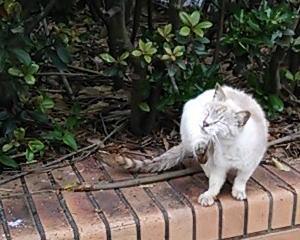 シャムMIXの野猫