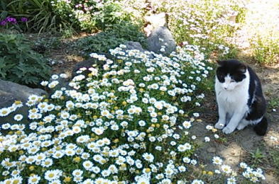 ノースポールに囲まれた白黒猫「あさ」