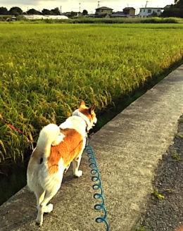 散歩道の稲の様子