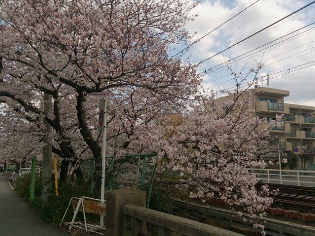 2016桜14