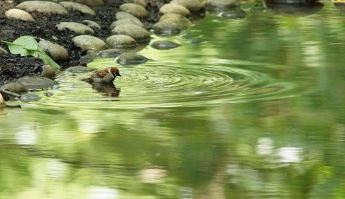 202スズメ水浴び
