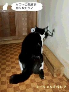 ケフィの部屋で水を飲むタマ