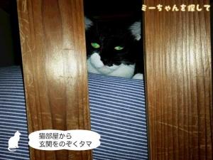 猫部屋から玄関をのぞくタマ