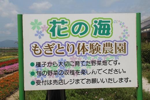 花の海 2016-7-26-1