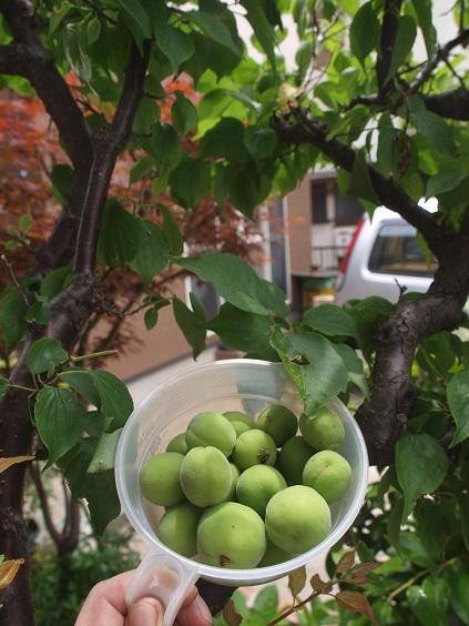P5200001 梅収穫