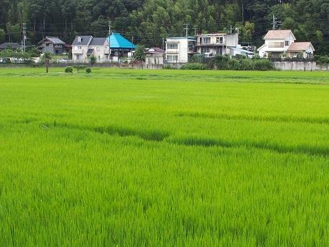 P7310576 緑のじゅうたん