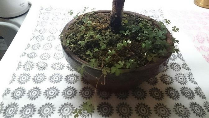 松2号旧鉢雑草