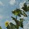 ヘチマ(糸瓜)の栽培記録 ベランダ菜園2009 その1