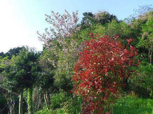 160415桜1