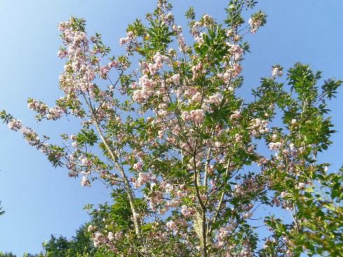 160415桜2