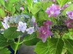 s-大師の紫陽花
