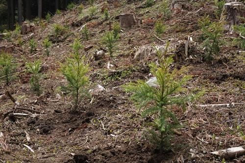 1杉苗植付後