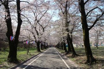 160412赤城南面千本桜 (3)_R
