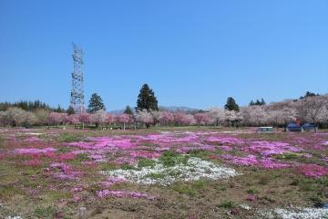 160412赤城南面千本桜 (22)_R