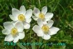 DSC_1321_Anemone_narcissiflora_hakusannichige_boshu_2a.jpg