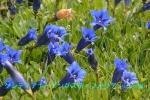 DSC_1334_Gentiana_angustifolia_rindo_zoku_2a.jpg