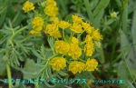 DSC_1367_Euphorbia_cyparissias_matubatoudai_2a.jpg
