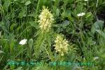 DSC_1370_Pedicularis_foliosa_shiogamagiku_2a.jpg