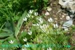 DSC_1377_Saxifrage_rotundifolia_yukinoshita_zoku_2a.jpg