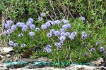 DSC_1393_Globularia_cordifolia_rurikanzashi_2a.jpg