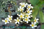 DSC_1401_Saxifraga_paniculata_hoshitsuzuri_2b.jpg