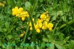 DSC_1430_Lotus_alpinus_miyakogusa_zoku_2a.jpg
